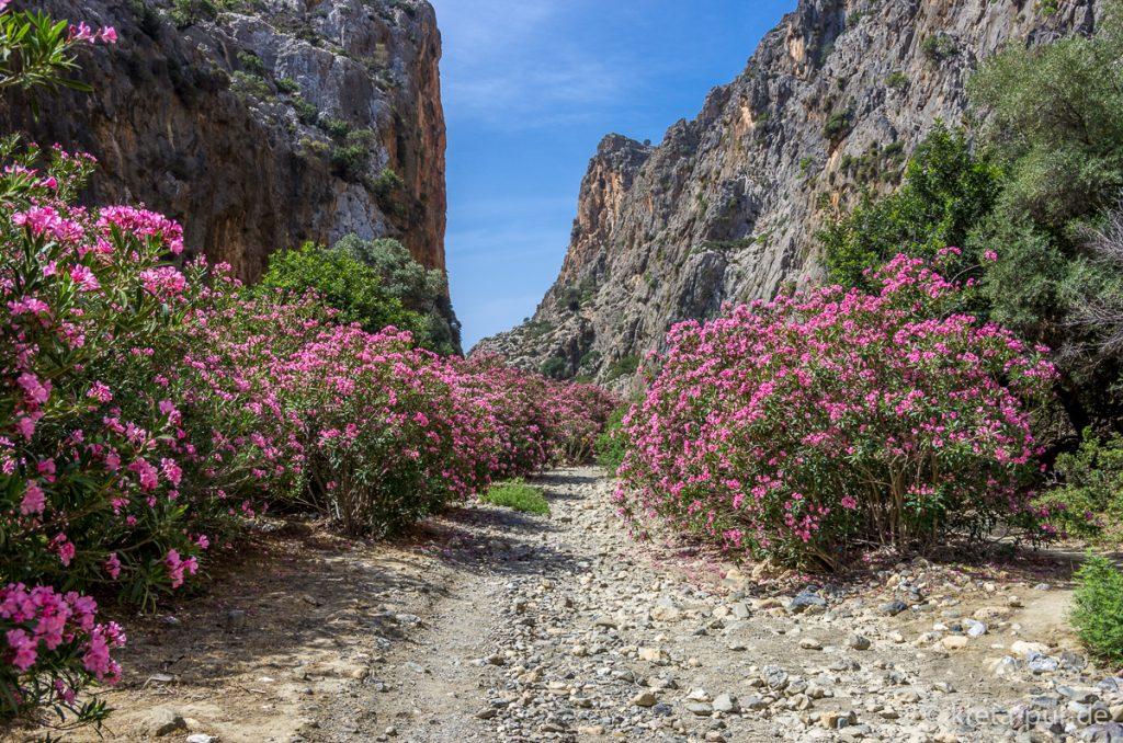 Oleander in der Agiofarango-Schlucht