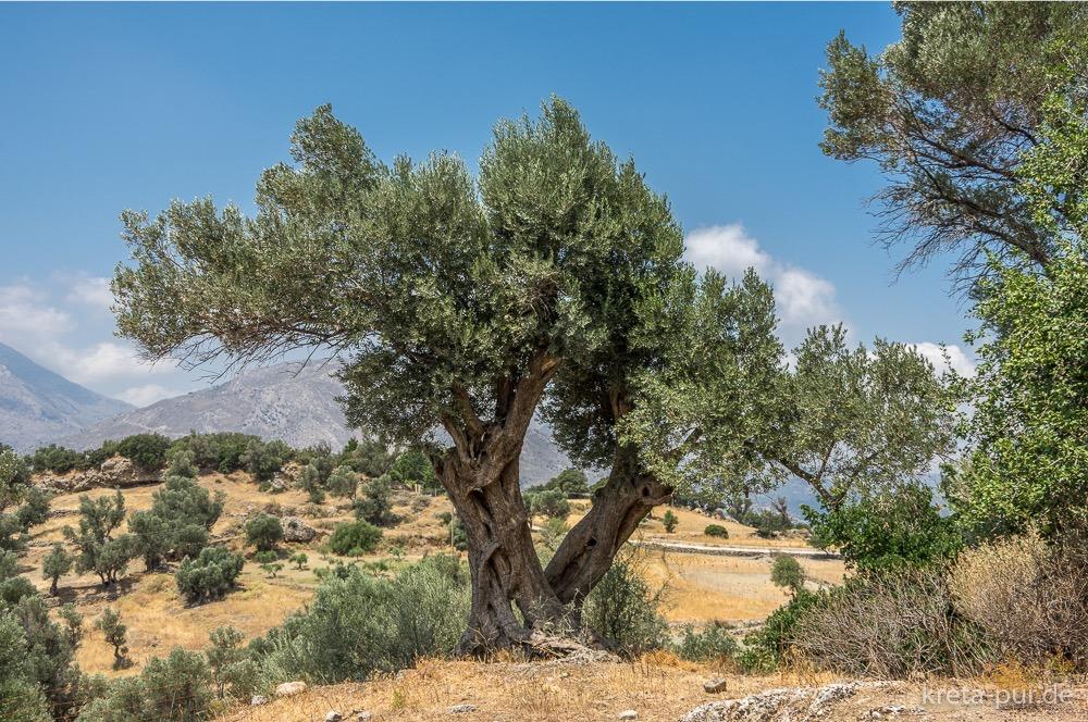 Olivenbaum im Amari-Becken