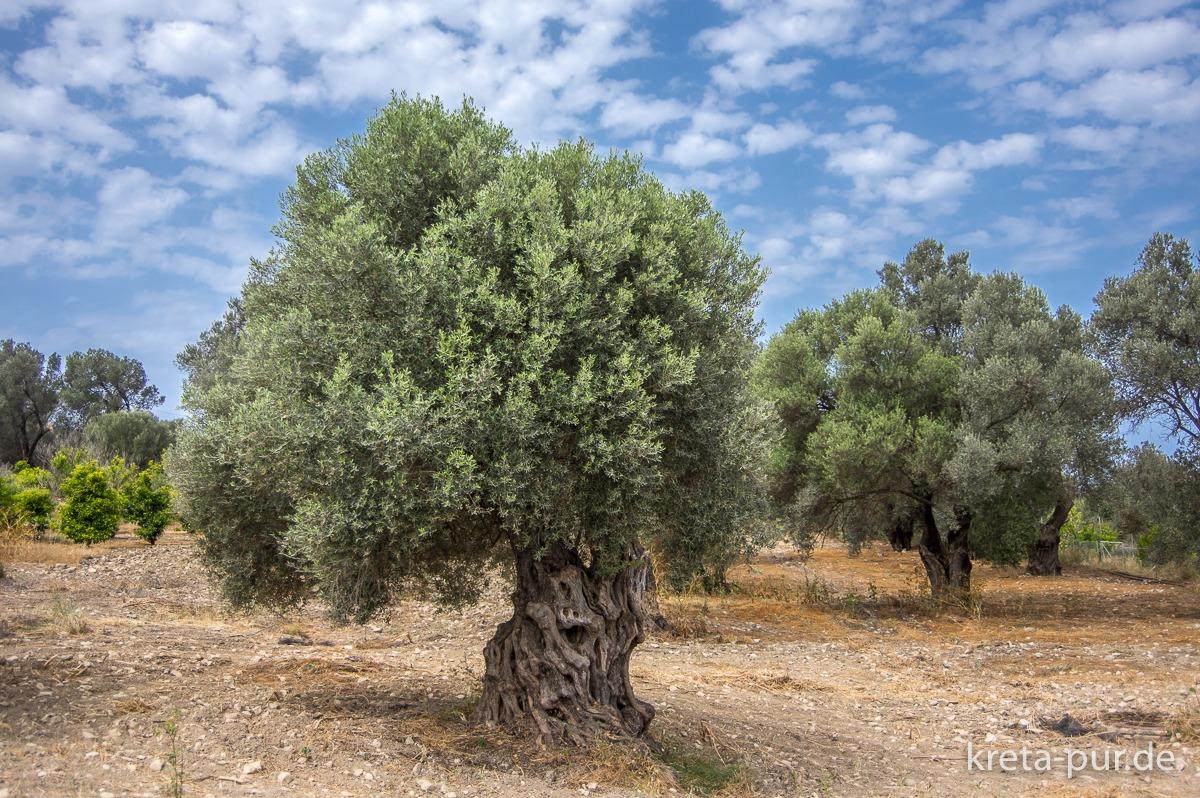 Olivenbäume bei Kamilari im Süden Kretas